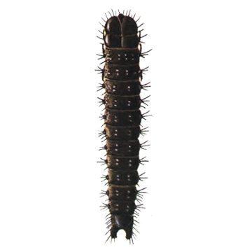 Листовертка-толстушка боярышниковая - Личинка. Использовано изображение:[12]