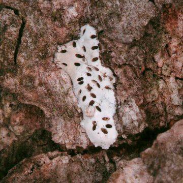Листовертка-толстушка боярышниковая - Яйца в среде. Использовано изображение:[13]