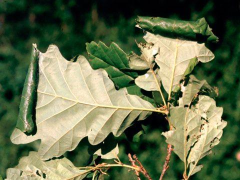 Листовертка-толстушка боярышниковая - Листья дуба, поврежденные личинками. Использовано изображение:[15]