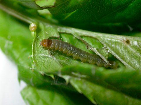 Листовертка сетчатая - Личинка, повреждающая листья. Листья складываются по продольной оси. Использовано изображение:[12]