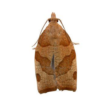 Листовертка кривоусая смородиновая - Имаго. Использовано изображение:[15]