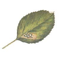 Моль-малютка яблонная
