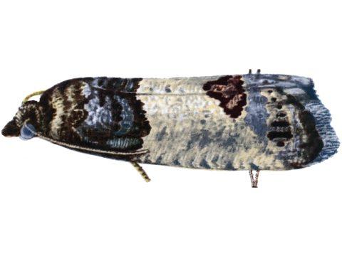 Листовертка (вертунья) почковая - Имаго, латерально. Использовано изображение:[13]