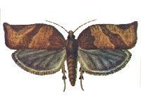 Листовертка (кривоусая) ивовая
