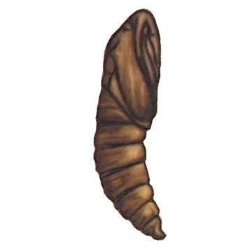 Листовертка (кривоусая) ивовая - Куколка. Использовано изображение:
