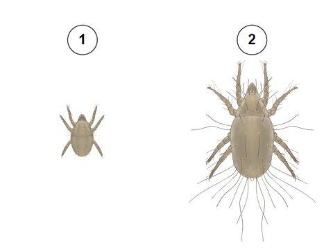 Клещ удлиненный - Фазы развития: 1 - личинка; 2 - имаго (взрослый клещ). Использовано изображение:[11]