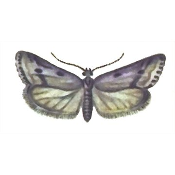 Листовертки - Листовертка заморозковая