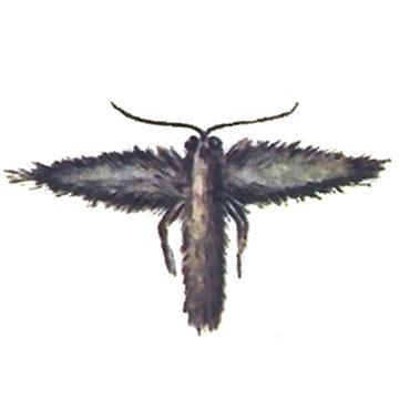 Листовертка заморозковая - Имаго, самка. Использовано изображение:[11]