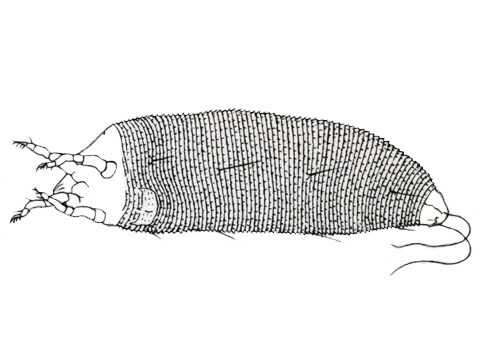 Клещ грушевый галловый