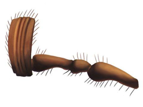 Хрущ майский восточный - Усик самки. Использовано изображение: