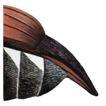 Хрущ майский восточный - Пигидий самца. Использовано изображение: