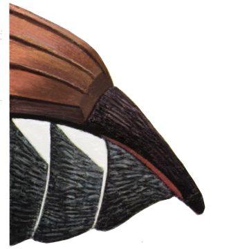 Хрущ майский восточный - Пигидий самки. Использовано изображение: