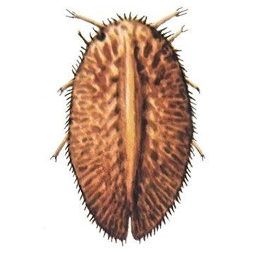 Ложнощитовка акациевая - Имаго-личинка. Использовано изображение:[11]