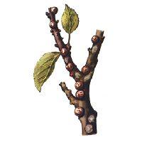 Ложнощитовка яблонная (яблоневая) шаровидная