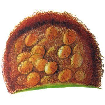 Златогузка - Яйцо. Использовано изображение:[12]
