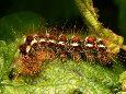 Златогузка - Личинка в природной среде. Использовано изображение:[14]