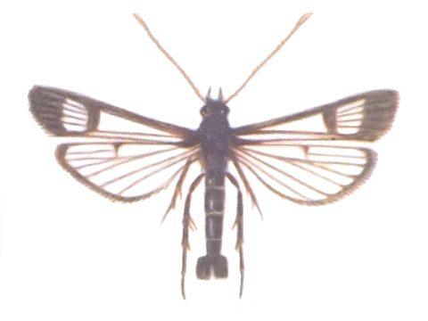 Стеклянница смородиновая - Имаго, самец. Использовано изображение: