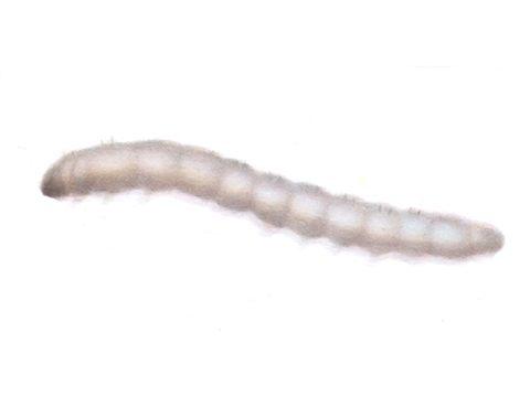 Стеклянница смородиновая - Личинка. Использовано изображение: