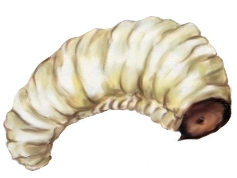 Долгоносик малинно-земляничный - Личинка. Использовано изображение:[11]