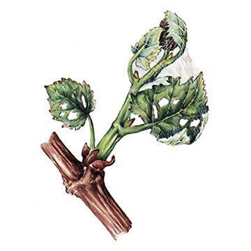 Листовертка виноградная - Повреждения. Использовано изображение:[10]