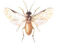 Пилильщик желтый крыжовниковый