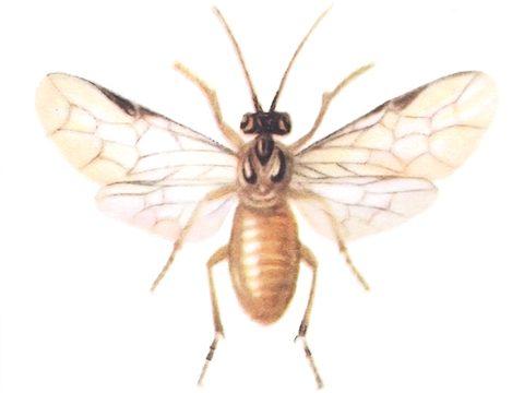 Пилильщики настоящие - Пилильщик желтый крыжовниковый