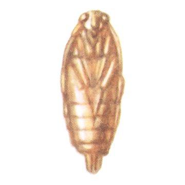Пилильщик желтый крыжовниковый - Куколка. Использовано изображение:[12]
