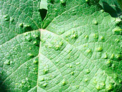 Зудень виноградный - Лист, покрытый галлами. Использовано изображение:
