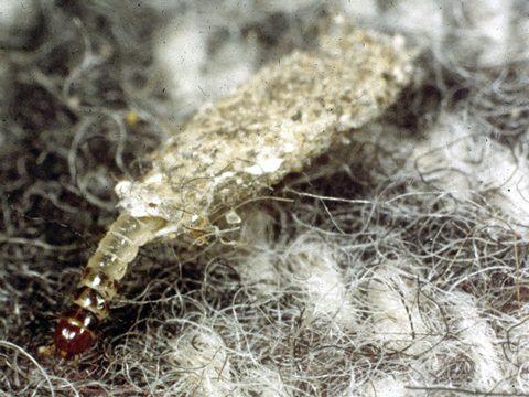 Моль шубная - Личинка. Испоьзовано изображение:[10]