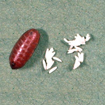 Муха комнатная - Пупарий (слева) и яйцо (справа). Использовано изображение: