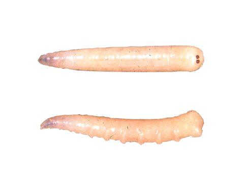 Муха комнатная - Личинка: вентральная и дорсальная сторона.Использовано изображение: