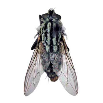 Муха Coprosarcophaga haemorrhoidalis - Имаго. Использовано изображение:[10]