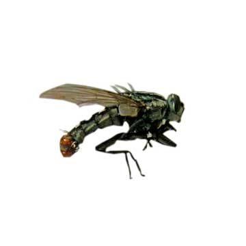 Муха Coprosarcophaga haemorrhoidalis - Имаго, латерально. Использовано изображение:
