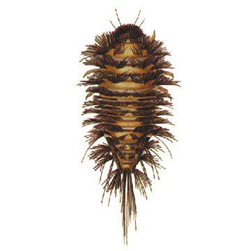 Кожеед норичниковый - Личинка. Использовано изображение:[11]