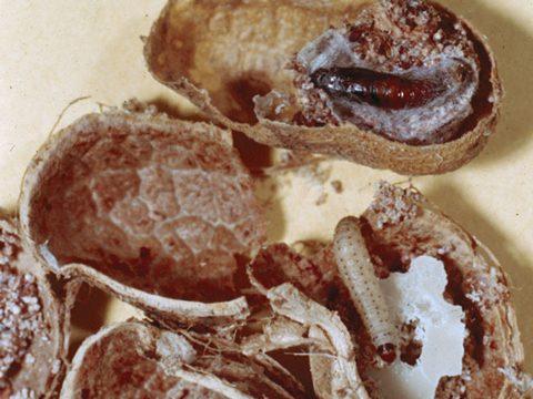 Огневка сухофруктовая - Личинка и куколка. Использовано изображение:[11]