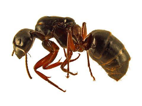 Муравей - древоточец красногрудый - Рабочий муравей, латерально. Использовано изображение:[13]
