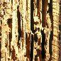 Муравей - древоточец красногрудый - Повреежденная древесина. Использовано изображение:[15]