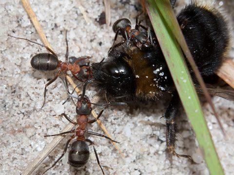 Муравей рыжий лесной (обыкновенный) - Рабочие муравьи, нападающие на шмеля. Использовано изображение:[12]