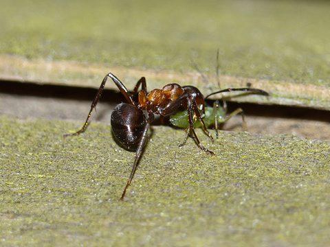 Муравей рыжий лесной (обыкновенный) - Рабочий муравей переносит тлю на новое место. Использовано изображение:[13]