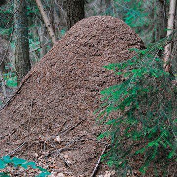 Муравей рыжий лесной (обыкновенный) - Муравейник. Использовано изображение:[14]