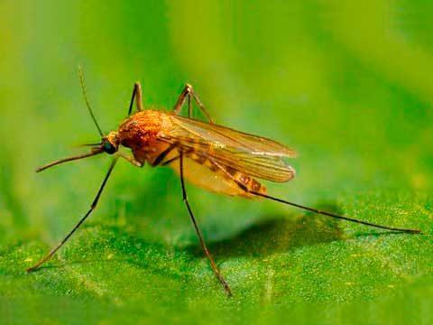 Комар обыкновенный - Имаго, латерально. Использовано изображение:
