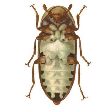Кожеед шиповатый - Личинка. Использовано изображение:[10]