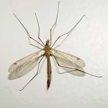 Комар Culex modestus