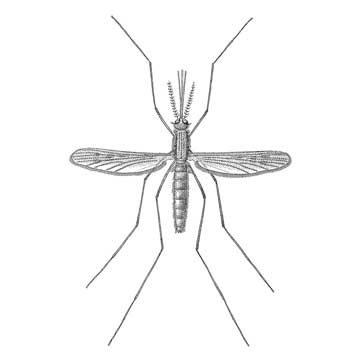 Комар малярийный обыкновенный