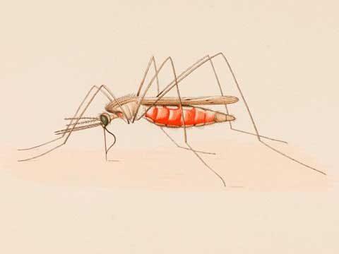 Комар малярийный обыкновенный - Имаго, латерально. Использовано изображение:[10]