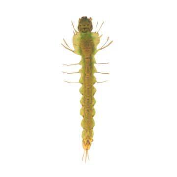 Комар малярийный обыкновенный - Личинка. Использовано изображение: