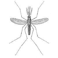 Комар малярийный родниковый
