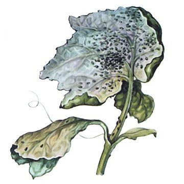Тля бахчевая - Поврежденный лист огурца. Использовано изображение: