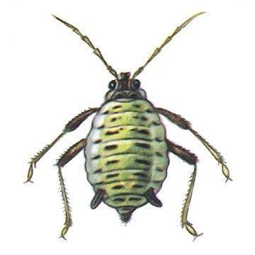 Тля капустная - Бескрылая самка. Использовано изображение: