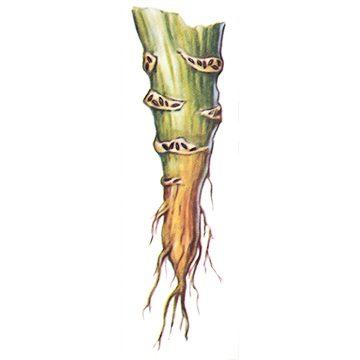 Тля капустная - Яйца на стебле капусты. Использовано изображение: